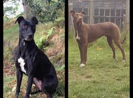 Bull greyhound/ lurcher pups