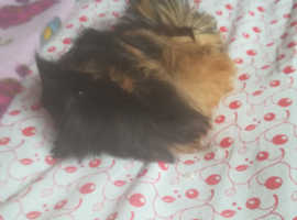 Long haired baby  Guinea pig