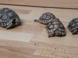 Leopard Tortoises 2020