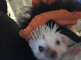 Female Pygmy Hedgehog