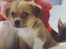 Shih Tzu X Jack Russell Male puppy