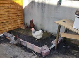 free range Chikens / Hens