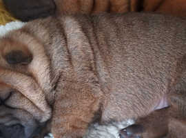 Shar pei puppy boy available for sale
