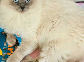 GCCF registered Blue Colourpoint Ragdoll Active