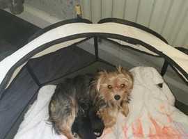 small black and tan pedigree yorkie  pups