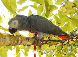 Missing African Grey Parrot: William