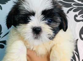 Lhasa apso puppy boy