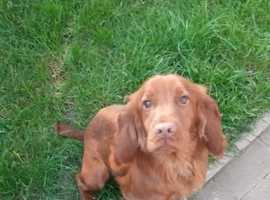 fully health tested red cocker stud dog