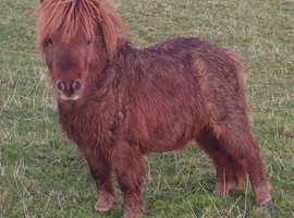 Miniature Shetland colt