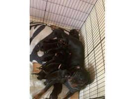 Last chunky 22 week Rottweiler pup