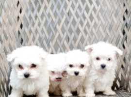 Maltese Terrier Puppies