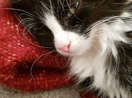 Two main coon cats for sale