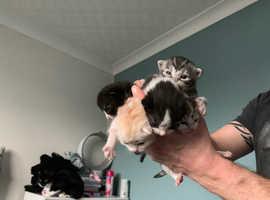 Ragdoll X Bengal kittens SOLD