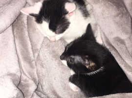 7 week old kittens