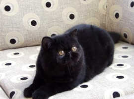 Beautiful black exotic female cat