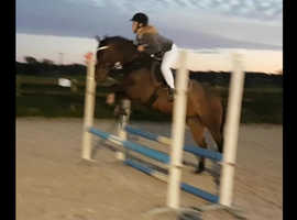 14.1hh- Fun Competitive Pony- Gelding