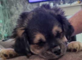 Beautiful Puggle Puppy