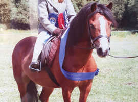 12hh Registered Welsh Section A