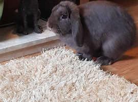 Chocolate lop rabbit