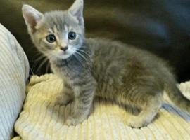 Stunning Majestic Tica Registered Munchkin Kittens