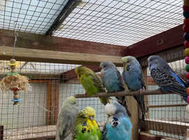 Exhibition budgies