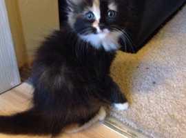 Manx Cross kittens