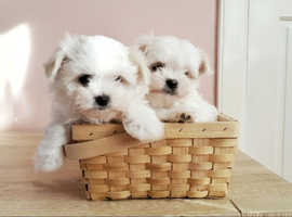 Fluffy Maltese Puppies