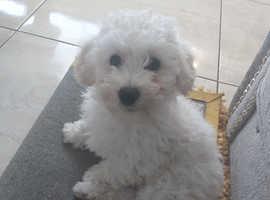 12 week old Poochon