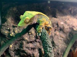 Crested gecko and setup