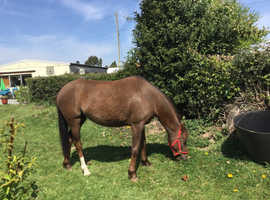 Nice 12 hands /Arabia/ Welsh  9 year old  pony princes as never been in foal