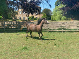 Stunning Pure Well Bred Arab Mare For Sale