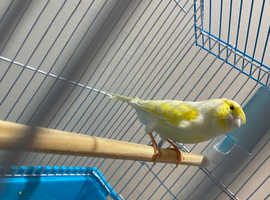 Male and female red factor and male dimorphic canary