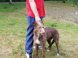 Chocolate Bedlington Greyhound Bitch