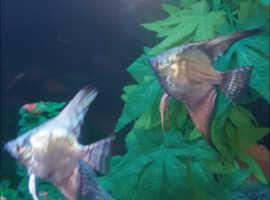 2 angelfish pair