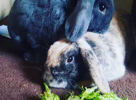 Free Rabbits & Bunnies for free | Buy & Sell Pets uk