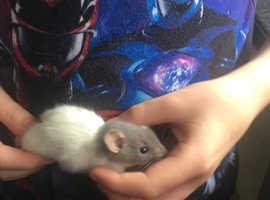 Baby female rats