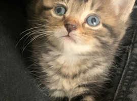 Fluffy Tabby Kitten for Sale