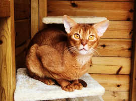 Abyssinian Cat for Stud Champion Proven Russian Import