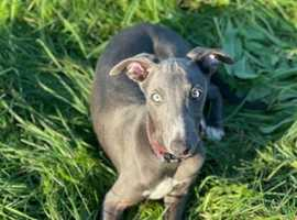 Gorgeous blue whippet