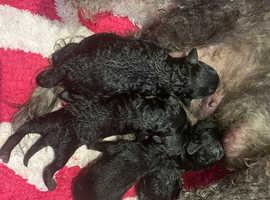 Bedlington X poodle bedipoo puppies