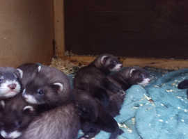 Baby Polecats