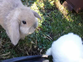 2 Mini Lop Girls