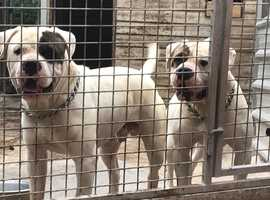 nkc registered hines dog for stud
