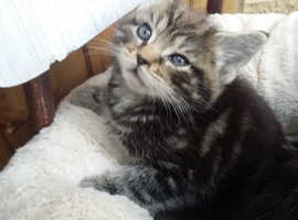 Very handsome chunky male kittens for sale.
