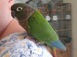 4 year old green check conure for sale must be able to colle