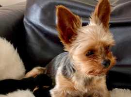 KC registered Toy Yorkshire Terrier Puppies for sale
