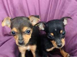 Wonderful litter of black an tan Jack Russel puppies