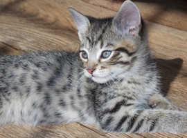 Stunning Bengal cross kittens