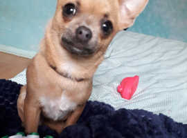 Small teacup chihuahua wanted