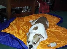 STUD alapaha blue blood bulldog